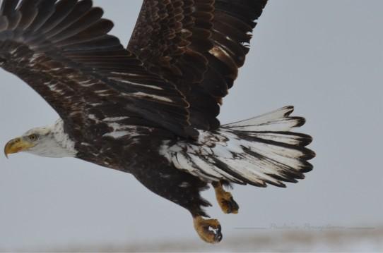 eaglewatermark